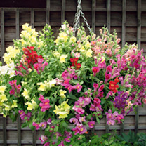 Antirrhinum Seeds - Pola Mixed F1