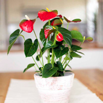 Anthurium Red  1