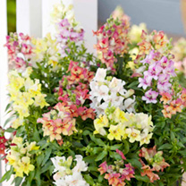 Antirrhinum Plants - Reminiscent