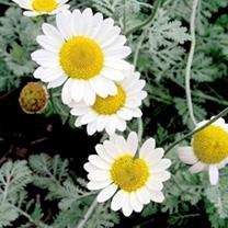 Anthemis Plant - Susanna Mitchell