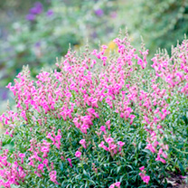 Antirrhinum majus Plant - Pretty in Pink