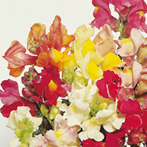 Antirrhinum Seeds - Tom Thumb Mixed