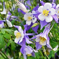 Aquilegia Plant - Blue Star