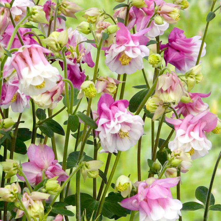 Aquilegia Seeds - Victoriana