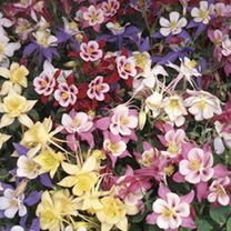 Aquilegia Potted Plants - Swan Mix