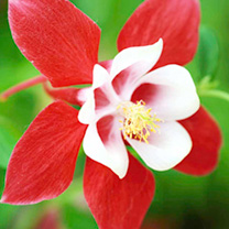 Aquilegia Plant - Red Star