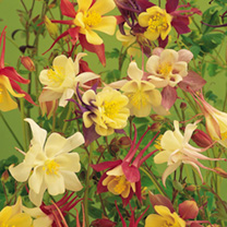 Aquilegia Long-Spurred Choice Mixed Seeds