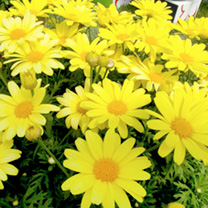 Argyranthemum Plants - Beauty Yellow