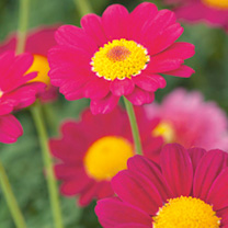 Marguerite Plant - Starlight Red