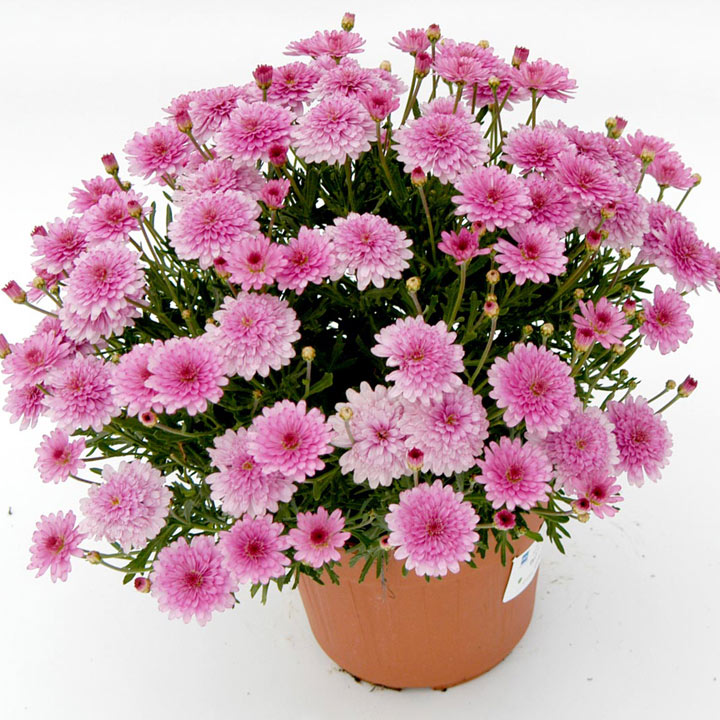Marguerite Plant - Summersong Rose