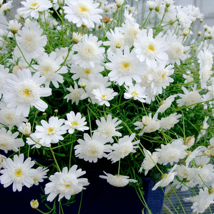 Argyranthemum White Full Moon