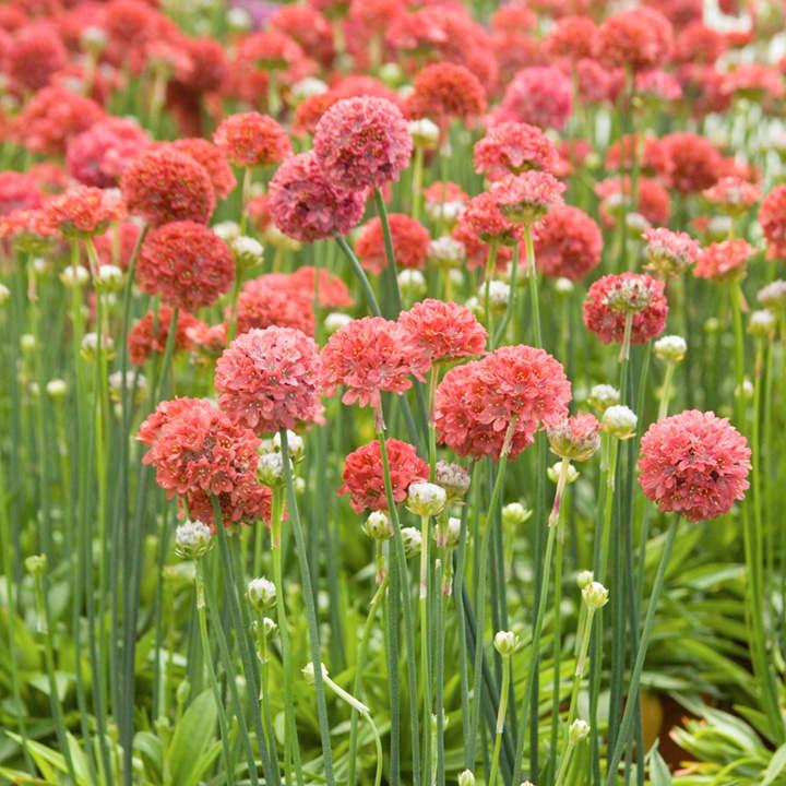 Armeria maritima Plant - Ballerina Red