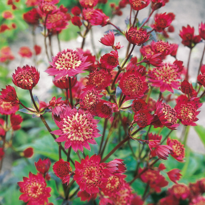 Astrantia Plant - Claret