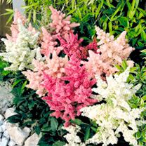Astilbe Plants - Astary Mix