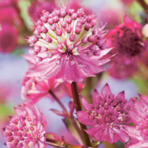 Astrantia Plant - Star of Beauty