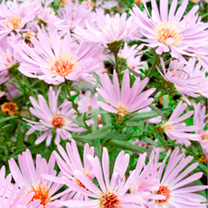 Aster alpinus Plant - Light Blue
