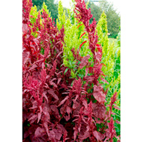 Atriplex Seeds - Red Plume