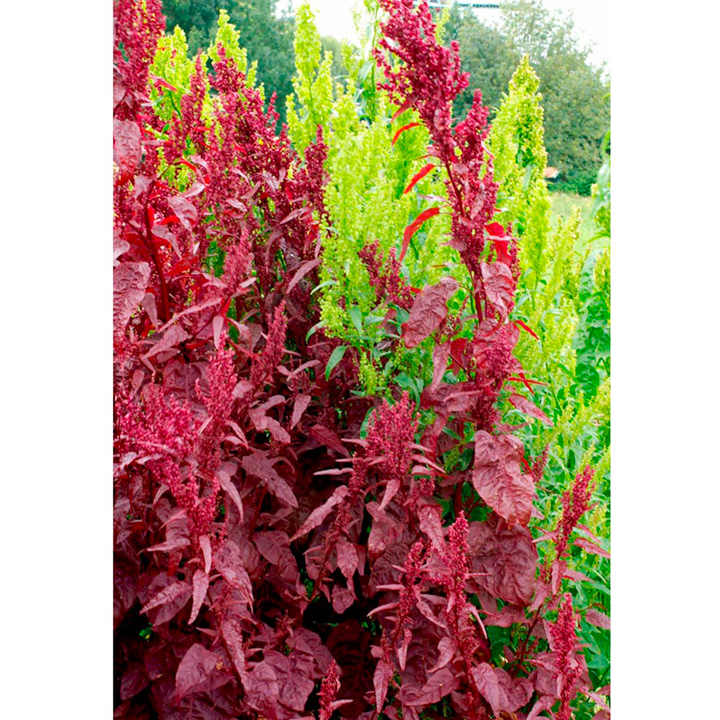 Atriplex Seeds - Red Plume