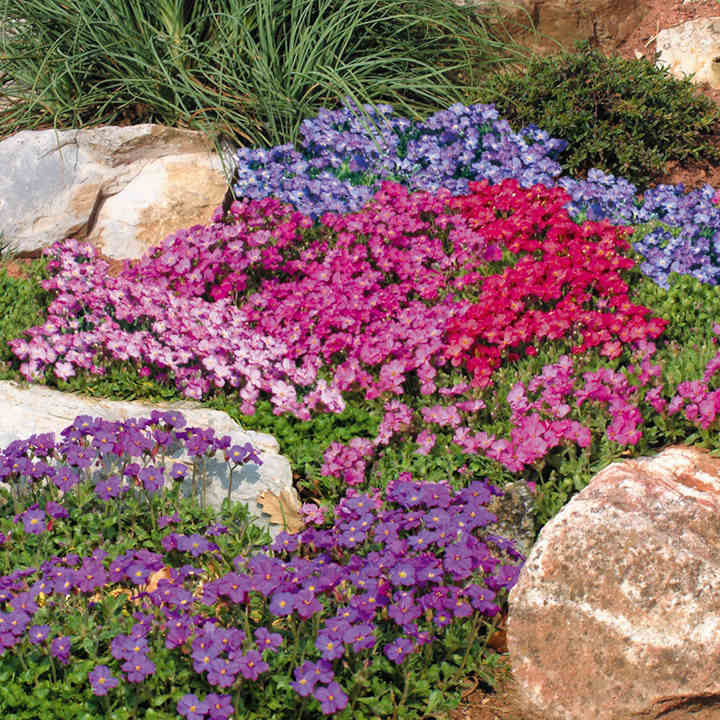Aubrieta Seeds - Spring Charm Mixed