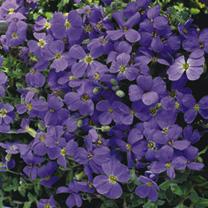 Aubrieta Plant - Cascade Blue