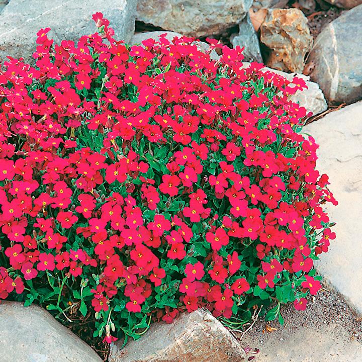 Aubrieta Plant - Cascade Red