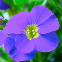 Aubrieta Plant - Kitty Blue
