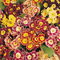 Auricula Seeds - Large-Flowered Strain