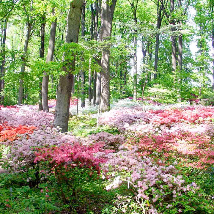 Azalea japonica Plants - Collection