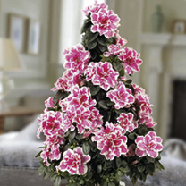 Azalea Christmas Tree - Pink