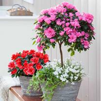 Azalea Standard Tree - Pink