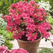 Azalea Encore® Plant - Autumn Sangria
