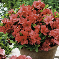 Azalea Encore Plant - Autumn Princess