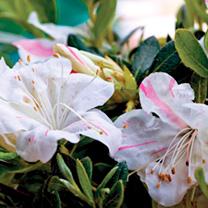 Azalea Encore Plant - Starlite