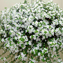 Bacopa Atlas Plant - White Secrets