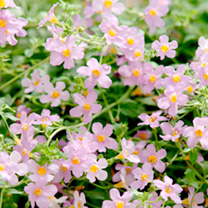Bacopa Seeds - Blutopia