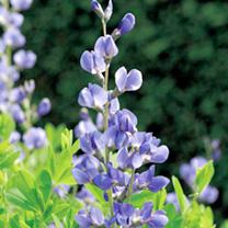 Baptisia australis Plant