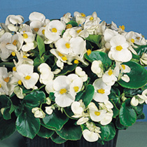 Begonia Seeds - Super Olympia White Easicote