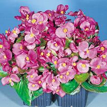 Begonia Seeds - Super Olympia Pink Easicote