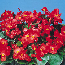 Begonia Pellets - Super Olympia Red Easicote