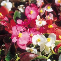 Begonia Seeds - Dwarf Mixed