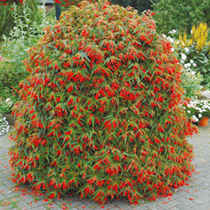 Begonia Plant - Crackling Fire Orange