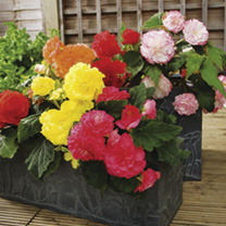 Begonia Plants - Illumination Mix & F1 Nonstop Mix Twin Pack