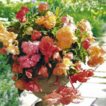 Begonia Plants - Parisienne Trailing