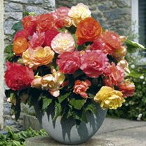 Begonia/Geranium Plants - Twin Pack