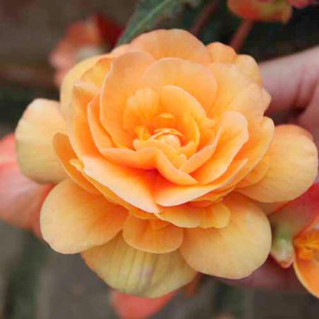 Begonia Plants - Illumination Apricot Shades