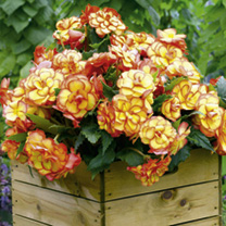Begonia Plants - On Top Twin Pack