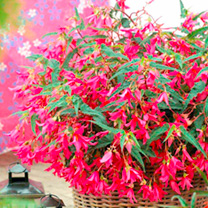 Begonia Plants - Crackling Fire Pink