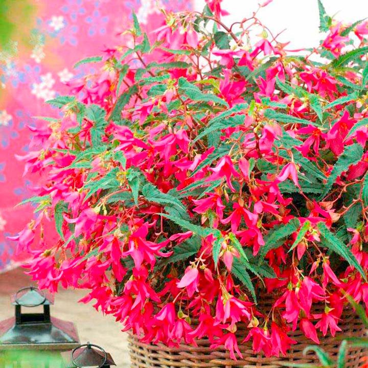 Begonia Plants - Crackling Fire Pink