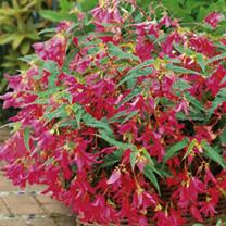 Begonia Plant - Crackling Fire Pink