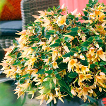 Begonia Plants - Crackling Fire Yellow